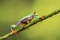 Red-eyed tree frog D75_7168.jpg (Mobile Lynn) Tags: amphibian frog nature redeyetreefrog captive agalychniscallidryas fauna wildlife bournemouth england unitedkingdom gb coth specanimal coth5 ngc