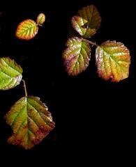 SANT MARTÌ Í DE LLÉMENA (Joan Biarnés) Tags: santmartídellémena gironès 299 panasonicfz1000 macro fullas hojas