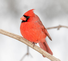 Crimson on White (tresed47) Tags: 2019 201902feb 20190201homebirds birds canon7dmkii cardinal chestercounty content february folder home pennsylvania peterscamera petersphotos places season takenby us winter