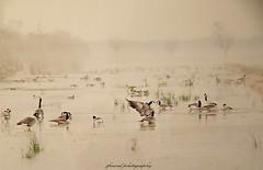 Canada Geese (jackfre 2) Tags: belgium kalmthout kalmthoutseheide pond lake