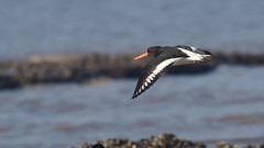 Big Beak (stephen.reynolds) Tags: oystercatcher flying black white water bird orange beak sea rspb titchwell