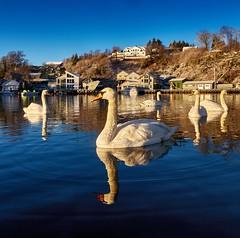 Røyksund, Norway (Vest der ute) Tags: g7x norway rogaland karmøy røyksund swan swans sea water reflections sky bluesky houses winter trees