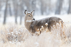 March 3, 2019 - A deer doe in the snow. (Tony's Takes)