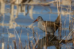 Water Rail. (JJB Images) Tags: amazingnature beautiful birds beauty canon canoneos6d clear countryside country detailed eos england eyes focus fuji interesting jjbimages lumix lovelylight minolta nikon nature natural panasonic rspb tamron usm wiltshire wildlife xl zoom zoomed