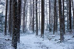winter forest (Jos Mecklenfeld) Tags: winter snow schnee sneeuw forest wald bos nature natur natuur nulbos westerwolde sonya6000 sonyilce6000 selp1650 sonyepz1650mm niederlande nederland terapel groningen netherlands nl