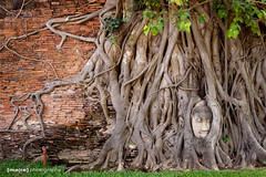 overgrown (ma|re photo) Tags: roots thailand2019 watmahathat ayutthaya buddha baum tree thailand wall wonderful old alt wat tempel siam travel reise sightseeing sony alpha 65 beautyful abandoned head kopf overgrown überwachsen verschlungen nature natur