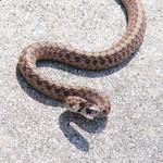Brown snake (Storeria dekayi) - yesterday thumbnail