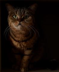 WHY.DID.YOU.EAT.MY.TUNA? (Siggital) Tags: cat katze kitteh kadse luna britishshorthair kitty grumpy funny furry caturday everydayiscaturday