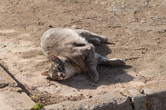 IMG_0984 Cat in Sa Rapita (Fernando Sa Rapita) Tags: baleares canon canoneos eos1300d mallorca sarapita sigma sigma105mm sigmalens animal cat gata kitten mascota pet
