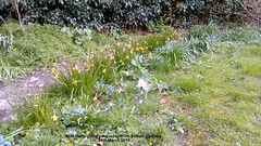 Mini-Daffs going over in Hartford School gardens 26th March 2019 (D@viD_2.011) Tags: minidaffs going over hartford school gardens 26th march 2019