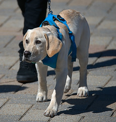 Look At That Face (Scott 97006) Tags: dog canine animal harness leash walk cute