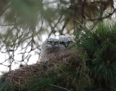 The adventures of the great horned owl chicks (charlescpan) Tags:
