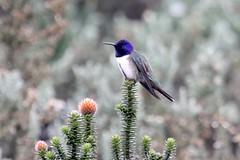 Ecuadorean Hillstar (Oreotrochilus chimborazo), Azuay, Ecuador (Gil Ewing) Tags: trochilidae hummingbird
