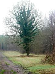 Ivy covered Oak. (dave p brecks) Tags: oaktree trees panasonicdmcg80 olympus60mmmacro