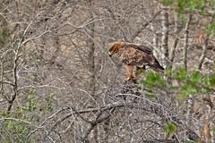 TAWNEAGL rapax 1148 (bryanjsmith62) Tags: tawnyeagle aquilarapax hawkseaglesandkites accipitridae birdsofsouthafrica ©bryanjsmith