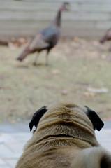 "Walter and Jeff (Kristin ""Shoe"" Shoemaker) Tags: massachusetts home boston stony brook animals nature urban turkey pug dog"