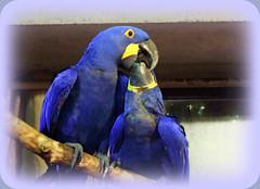 "Sharing Tidbits  (Hyacinth Macaws) (FernShade) Tags: ""vancouveraquarium"" aquarium ""anodorhynchushyacinthinus"" ""hyacinthmacaw"" bird ""tropicalbird"" macaw ""exoticbird"" amazon ""amazongallery"" ""southamerica"" birds avian aviary nature ""bluebirds""wildlife ""slbfeeding"" ""slbpreening"" ""bluebird"" ""birdbehavior"" ""endangeredspecies"" vancouverbc"
