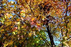 Purple Maple Leaves (Gene Ellison) Tags: tree maple red yellow orange green brown purple deep fallcolor autumn naturephotography velvia fujifilm sooc