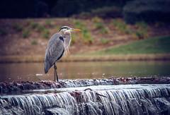 Blue Heron (maberto) Tags: california d7200 eldoradocounty eldoradohills nikon bird egret pond water ©bradmaberto greatblueheron heron