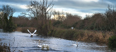 FIGHTING SWANS [ ROYAL CANAL BETWEEN BROOMBRIDGE AND ASHTOWN]-148317 (infomatique) Tags: birds swans fight wildlife nature water canal royalcanal canalwalk sony a7riii batis zeiss 135mmlens williammurphy infomatique fotonique ireland