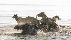 splish splash (RCB4J) Tags: ayrshire ayrshirecoast babygrace clydecoast firthofclyde irvinebeach jakob rcb4j ronniebarron scotland siameselurcher sony18250mmf3563dtaf sonyslta77v trailhound art bordercollie dobermanterrier dogs labradors photography retrievers shoragundogs spaniels splishsplash