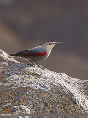 Wallcreeper (Tichodroma muraria) (gilgit2) Tags: avifauna birds borit canon canoneos7dmarkii category fauna feathers geotagged gilgitbaltistan gojal imranshah location pakistan species tags tamron tamronsp150600mmf563divcusd wallcreepertichodromamuraria wildlife wings gilgit2 tichodromamuraria