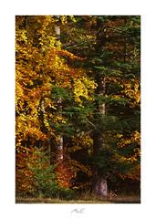 Symbiosis of Colours (Max Angelsburger) Tags: autumn colors golden orange yellow gelb gold green grün fir leafs blätter crisp knusprig beech buche sunny leuchtend glowing tree trunk badenwürttemberg herbst 2018 pznews pocketworldiglandscapedreamspotsvisualheavenlandscapephotolandscapelovernatgeoadventureearthexperiencemthrworldmajesticearth