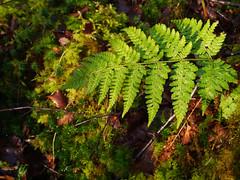 Fern & mosses, Glasdrum National Nature Reserve (Niall Corbet) Tags: scotland argyll nnr nationalnaturereserve glasdrum fern moss green