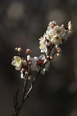 XT3B5557 (jojotaikoyaro) Tags: jindaiji zenpukuji tokyo japan fujifilm flower plum spring xt3 xf100400mm