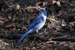 California Scrub-jay (hoppedscott) Tags: birding outdoors nature scrubjay californiascrubjay santacruz nearylagoon aphelocomacalifornica
