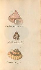n62_w1150 (BioDivLibrary) Tags: greatbritain mollusks museumsvictoria bhl:page=57640233 dc:identifier=httpsbiodiversitylibraryorgpage57640233 conchologicaldictionary conchology shells britishisles britishislands williamturton british