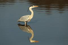 Reflection (Teruhide Tomori) Tags: nature bird wild kyoto japan japon hirosawanoike pond winter animal greyheron アオサギ 野鳥 広沢池 京都 冬 鳥 動物 野生 日本 water