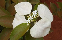 Morinda reticulata . Outback beauty after a sandstorm! (Uhlenhorst) Tags: 2007 australia australien flowers blumen plants pflanzen blossoms blüten travel reisen