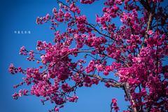 D68_4013 (brook1979) Tags: 台灣 台中 泰安 警察局 櫻花 春天 花季 粉 紫 taiwan taichung flower sakura 八重櫻