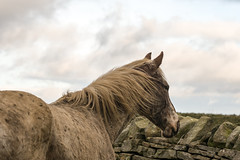 Gazing over the wall (tonguedevil) Tags: outdoor outside countryside winter nature field sky cloud animal equine horse colour