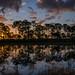 Sunrise through the Slash Pine trees reflected in the water at Babcock Wildlife Management Area near Punta Gorda, Florida