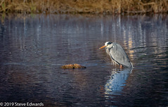 The Waiting Heron (pootlepod) Tags: canon wildlife heron eye nature clennon lakes walterfowl feather wings greyheron bulging cleaning bathing raw life wild natural bill beak waiting watching lake valley naturereserve reserve rspb