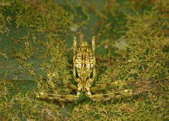 Assassin Bug Nymph (Reduviidae) (John Horstman (itchydogimages, SINOBUG)) Tags: insect macro china yunnan itchydogimages sinobug entomology canon green bug nymph assassin hemiptera reduviidae crypsis camouflage head fb tumblr