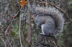 DSC07643 (simonbalk523) Tags: squirrel warnham horsham nature reserve animals portrait sony tamron photography sussex