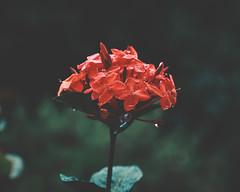 Flor da UFOB (Helmonth Denisar) Tags: jardim natureza nature chuva orvalho flor fotografia fotografiahelmonthdenisar fotografiadenatureza helmonthdenisarfdasilva