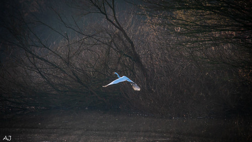 Zilver reiger - Natuurpark Lelystad
