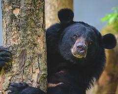 _SSS0753.jpg (S.S82) Tags: bangalore bear wildlife india karnataka nature animal wild bannerghattazoo carnivore ss82 zoo incredibleindia indiaclicks indiagram photographersofindia storiesofindia in
