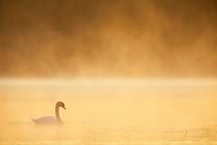 Höckerschwan (generalstussner) Tags: wildlife höckerschwan cygnusolor muteswan swan schwan sunrise fog nebel sonnenstrahlen beautifullight beautiful bird vogel wasservogel canon 5dmarkiv