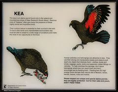 The clown of the mountains -  Kea Interpretive Sign, Wobbly Kea Cafe & Bar, Arthurs Pass, South Island, New Zealand (Black Diamond Images) Tags: wobblykea kea bird parrot cafe wobblykeacafebar arthurspass arthurspassnz christchurchtoarthurspass southisland newzealand nz nztravel nz2015 greatalpineway arthurspasstohokitika selwyndistrict selwyn sign interpretivesign nestornotabilis nestor nestoridae clownofthemountains endemic endangered arthurspassnationalpark