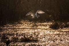 Golden Flight (ZeePack) Tags: sunrise dramaticsky dawn sun morning water light greatwhiteegret bharatpur landing flying airborne keoladeobirdsanctuary india sony dscrx10miv goldenhour takeoff