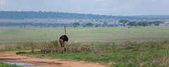 Ostrich with babies (philkates) Tags: tarangire tanzania ostritch animal