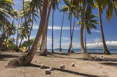 Coconuts (Joost10000) Tags: tahaa frenchpolynesia polynesiefrancaise polynesia polynesie pacific landscape coast sea ocean water beach palmtree palmier coconut mountain island view travel canon canon5d outdoors nature natur landschaft societyislands society