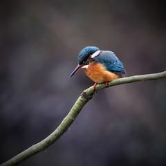 martin-pêcheur_18D2816 (Bernard Fabbro) Tags: martinpêcheur kingfisher eisvogel oiseau bird