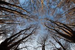 fisheye forest (Francis Mansell) Tags: beech tree forest sky plant monochrome blackwhite niksilverefexpro2 fisheye eppingforest fagussylvatica
