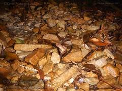 Megophrys ombrophila #10 DSCN1136v3 (Kevin Messenger) Tags: amphibians frog fujian wuyishan megophrys ombrophila amphibia toad china kevin messenger hollis dahn new species guadun herpetology canon wildlife research nature